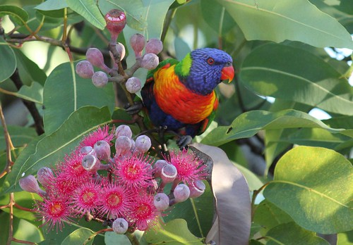 Rainbow Lorikeet 017