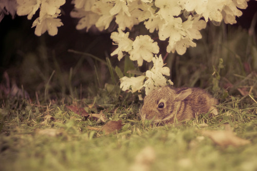 Baby Bunny by peashells