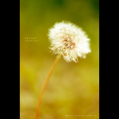 Cotton | Dandelion (XPRO1 Jpeg file) {explored}
