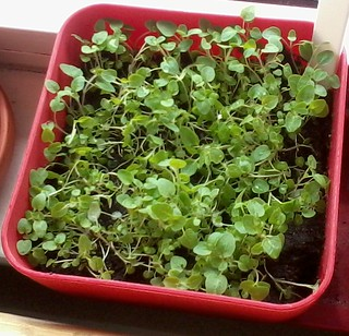 05-02-2012 Oregano after thinning