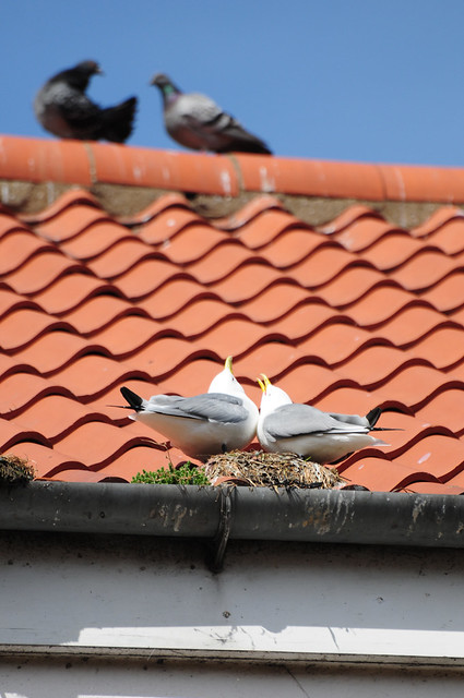 Kittiwakes (Rissa tridactyla) on Rooftop Nest in Scarborough