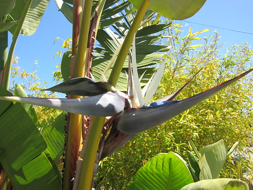 Giant Bird of Paradise, bloom IMG_0366