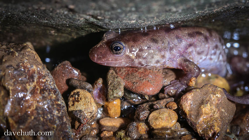 Seal Salamander (Desmognathus monticola) - under a ledge