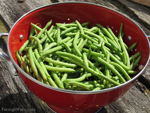 Freshly picked Masai filet beans (haricots verts) from the kitchen garden - FarmgirlFare.com