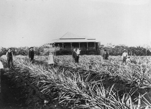 fruit plantation queensland pineapples tropicalfruit statelibraryofqueensland slq pineapplefarming