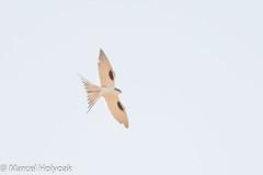 Scissor-tailed Kite (Chelictinia riocourii), Mora Plains, near Maroua, Cameroon, 2012-03-27 -101.jpg