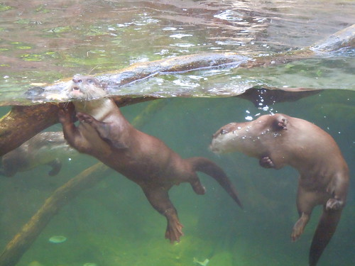 two otters, underwater, through glass. They are swimming and playing near a submerged log.