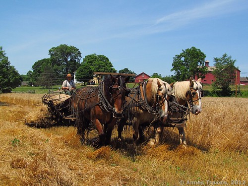 The wheat harvest via a McCormick Reaper-Binder, Howell Living History Farm, Lambertville, New Jersey
