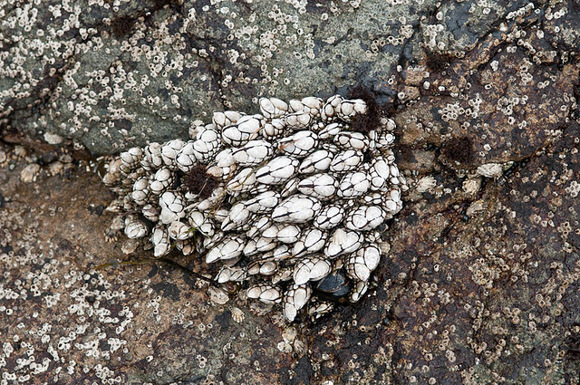 Goose neck barnacles (Pollicipes polymerus)