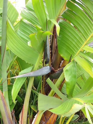 gian bird of paradise, blooming IMG_0732