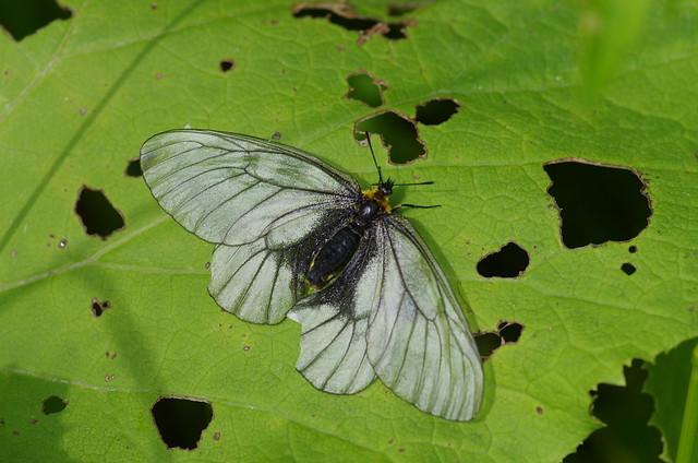 Parnassius stubbendorfii