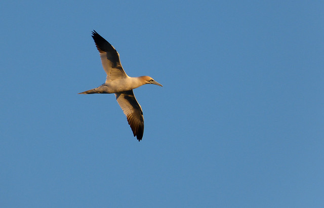 27600 - Gannet off Tears Point, Gower