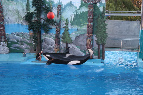 Shouka the Killer Whale, Discovery Kingdom