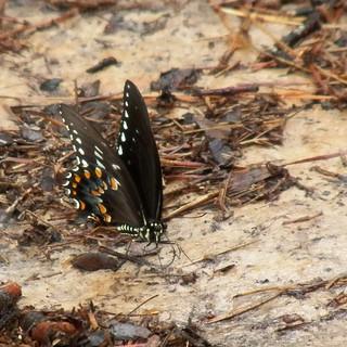 swallowtail butterfly, 2