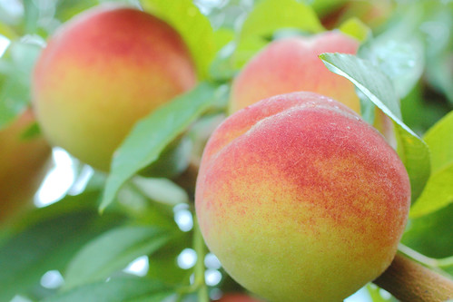 despite a spring freeze and a drought, everything's looking peachy!
