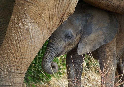 Samburu - baby elephant