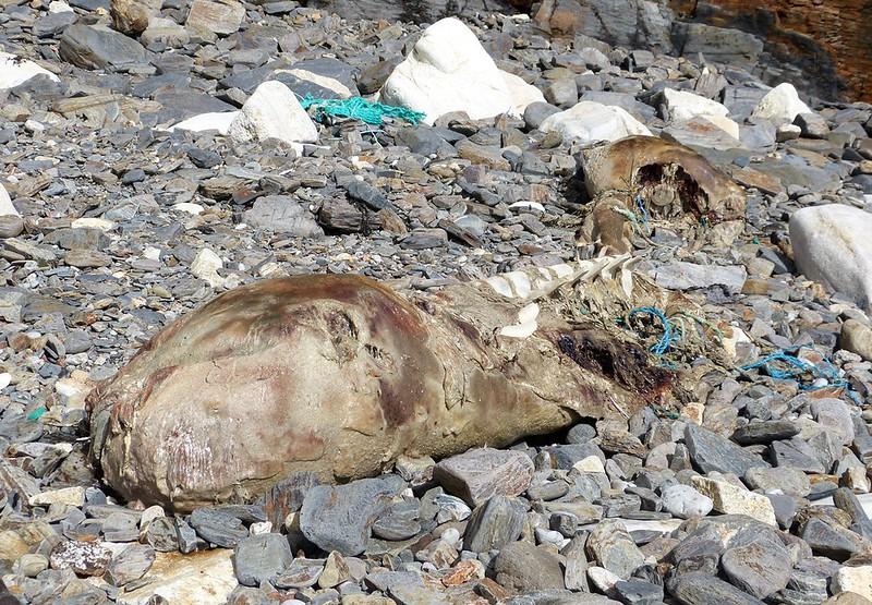 P1070188 - Dead Whale, Tremearne Cliff