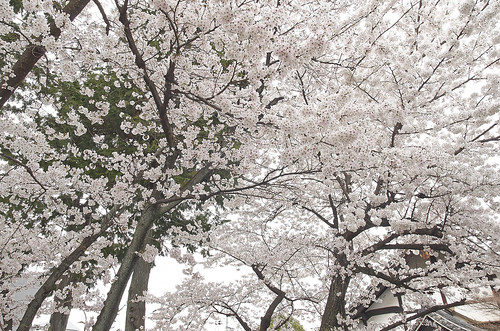 【写真】2014 桜 : 知恩寺/2020-11-13/IMGP5726