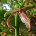 Small photo of Alpinia galanga