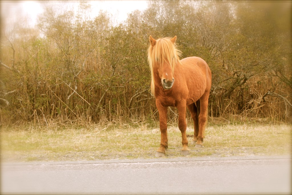 Pony on Assateague Island, Maryland
