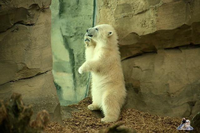 Eisbär Lili im Zoo am Meer Bremerhaven 14.05.2016 Teil 2 089