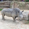 White rhino at Barcelona zoo #Barcelona #animals