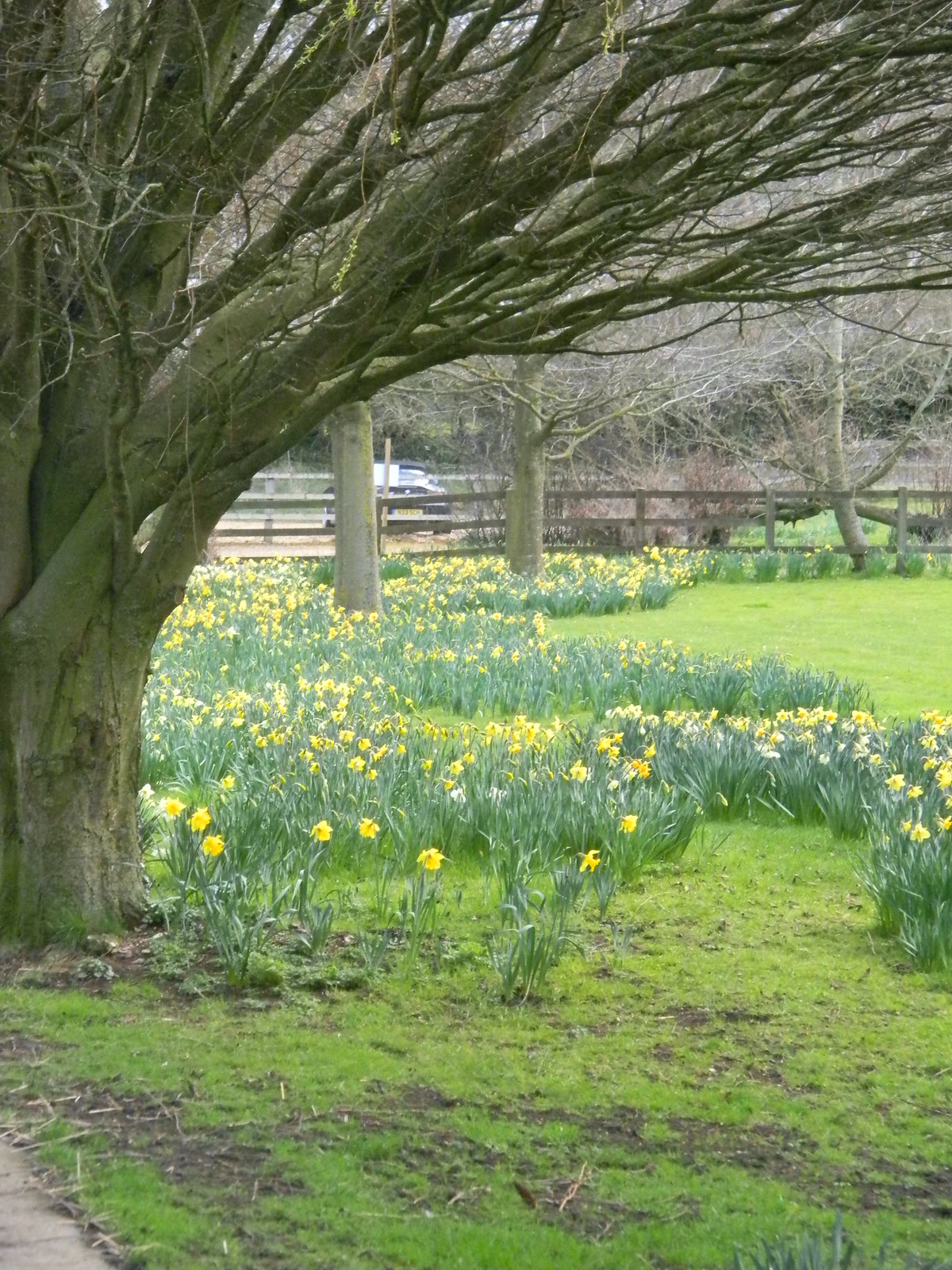 Daffs near Ashe Church Overton Circular