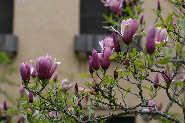 木蘭の画像 p1_21