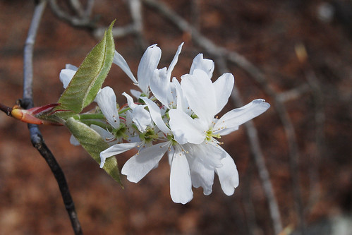 Up close flower blossom of Serviceberry, Amelanchier arborea, a white flowering native tree in the Missouri Ozarks.