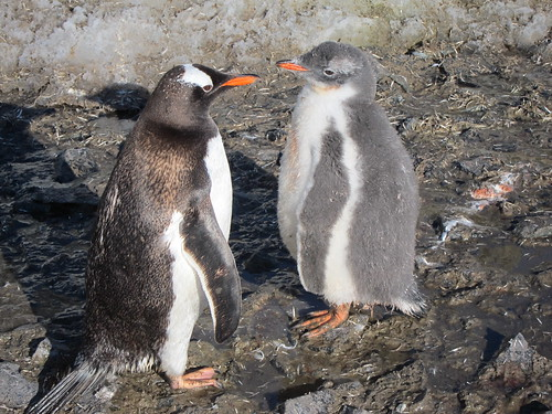 Antarctica - mother Gentoo penguin and baby