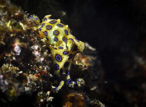 Blue Ringed Octopus -  Okinawa