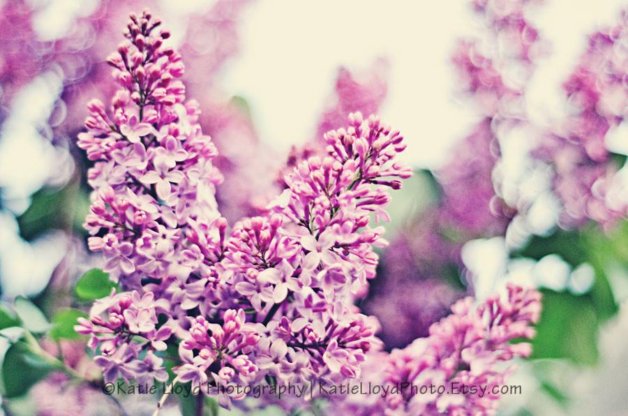 4-1-12---lilacs
