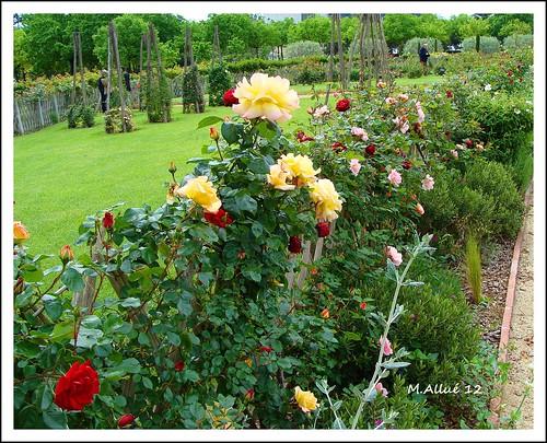 Rosas (Feliz Quinta Flower by Miguel Allué Aguilar