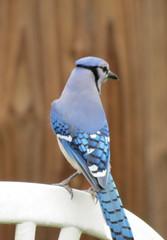 animal(1.0), wing(1.0), fauna(1.0), close-up(1.0), blue(1.0), blue jay(1.0), beak(1.0), bird(1.0),