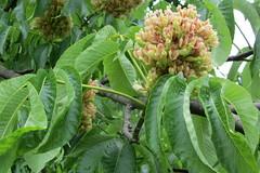 Buckeye (Aesculus flava or glabra?) buds