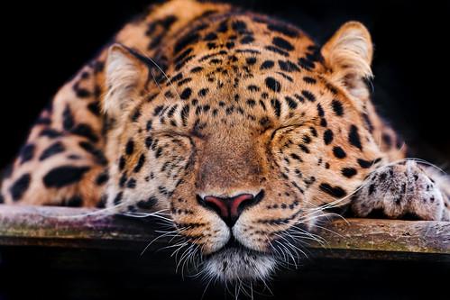 Cute sleepy leopard - 無料写真検索fotoq