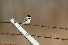 Chickadee on a Wire-1160.jpg by Mully410 * Images