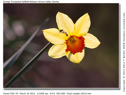 Backlit Orange Trumpeted Daffodil Birkacre Yarrow Valley Chorley Lancashire by Just Daves Photos