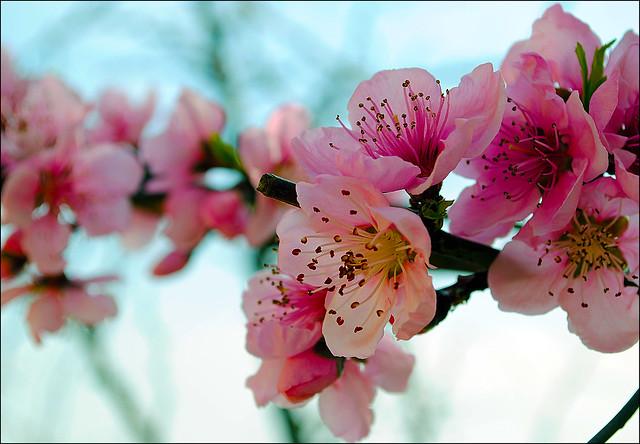 Peach Tree Flower | www.imgkid.com - The Image Kid Has It! Peach Tree Flowers