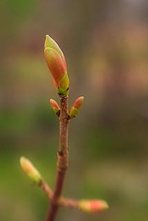 Maple Bud