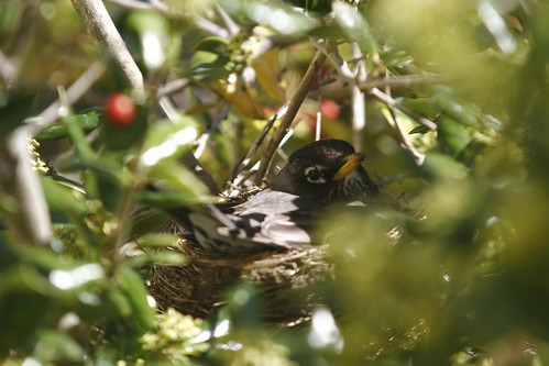 Robins nest, getting supplies to build the nest, Robins nest, baby birds, robin, robins, robin birds, robin baby birds, nest, worms, tree, hatching birds, eggs, hatching robins, fence, male, nest, nest building