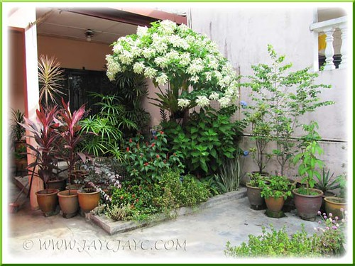 A broader view of our frontyard, beautifully spotlit by the White Mussaenda tree = April 28 2012