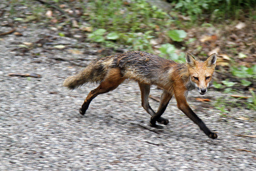 Fox On The Run (Kennisis Lake 2012) by James Patterson