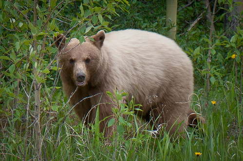 Blonde Grizzly by Harvey Roberts images