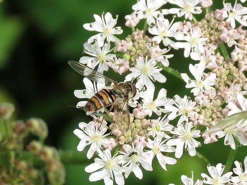 Hoverfly - Episyrphus balteatus