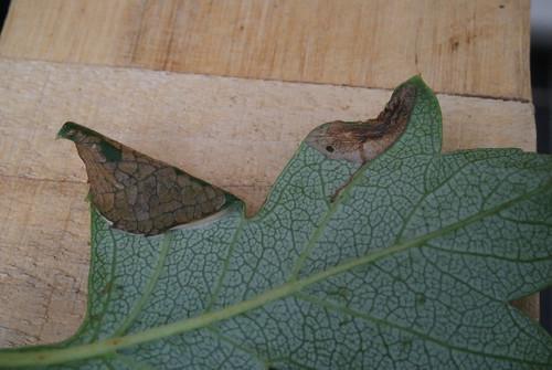 Parornix anglicella mine on hawthorn (3)