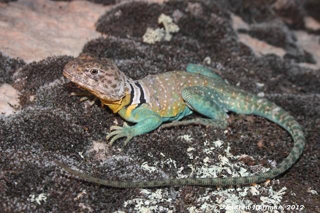 Crotaphytus collaris (Eastern Collared Lizard)