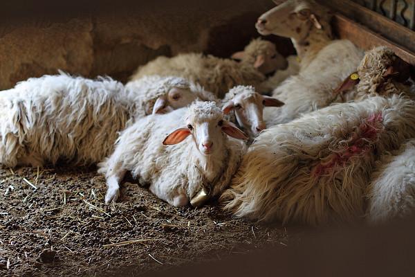 le pecore (2)