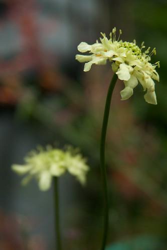 cephalaria gigantea  1863