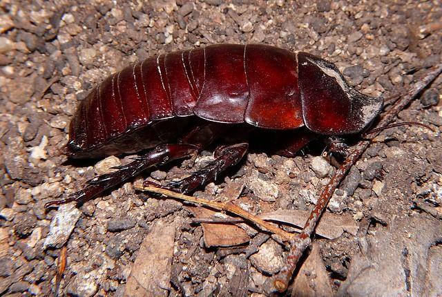 Giant Burrowing Cockroach Macropanesthia Rhinoceros SANOMA P1060362